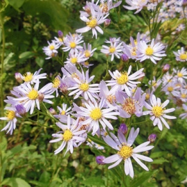 wildflower_aster_purple