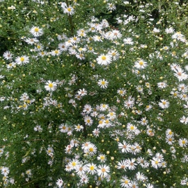wildflower_aster_white