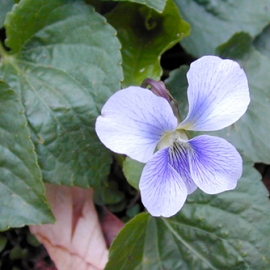 wildflowers_confederateviolet