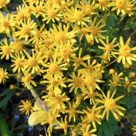 wildflowers_goldenragwort