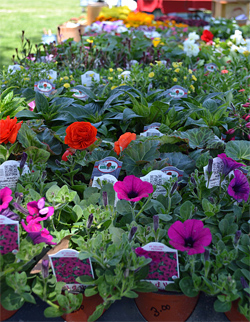potted flowers for sale