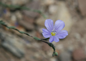 Blue_flax_Linum_lewisii_flower_close